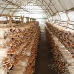 Tuyển lao động nữ đi XKLĐ Nhật Bản trồng nấm