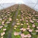 Đơn hàng Xuất Khẩu lao động Nhật bản: Tuyển 15 nữ trồng nấm