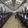 Tuyển thực tập sinh chăn nuôi bò sữa tại Nhật Bản