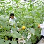 Đơn hàng nông nghiệp: Tuyển 10 nữ làm tại Aichi