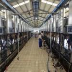 Tuyển 15 nam vắt sữa bò tại Nhật Bản