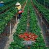 Tuyển gấp 13 nữ lao động trồng dâu tại Tochigi – Nhật Bản