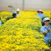 Tuyển 20 nữ trồng hoa trong nhà kính tại Kanagawa – Nhật Bản