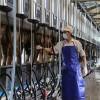 Tuyển 45 lao động xuất khẩu chăn nuôi bò sữa tại Nhật Bản