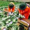Xuất khẩu lao động Nhật Bản: Làm nông nghiệp hay điện tử ?