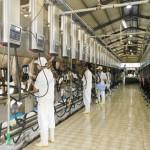Tuyển 12 nam xuất khẩu lao động Nhật Bản chăn nuôi bò sữa