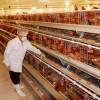 Tuyển 06 nam chăn nuôi gà tại Ibaraki, Nhật Bản