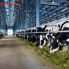 Tuyển 15 nam xuất khẩu lao động chăn nuôi bò sữa tại Nhật Bản