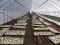 Tuyển 06 nữ đi đơn hàng nông nghiệp trồng nấm tại Hokkaido, Nhật Bản