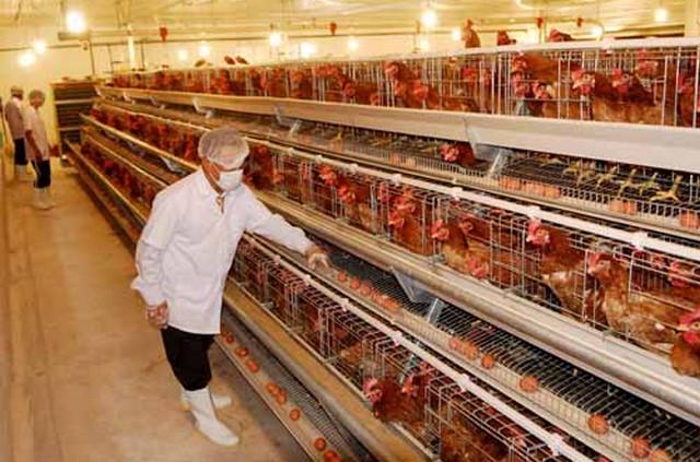 Tuyển 12 nam nữ chăn nuôi gà tại Shizuoka, Nhật Bản tháng 10