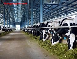 đơn hàng chăn nuôi bò sữa nhật bản
