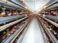 Đơn hàng chăn nuôi gà tại Ibaraki - Nhật Bản