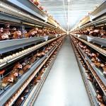 Đơn hàng chăn nuôi gà tại Ibaraki – Nhật Bản